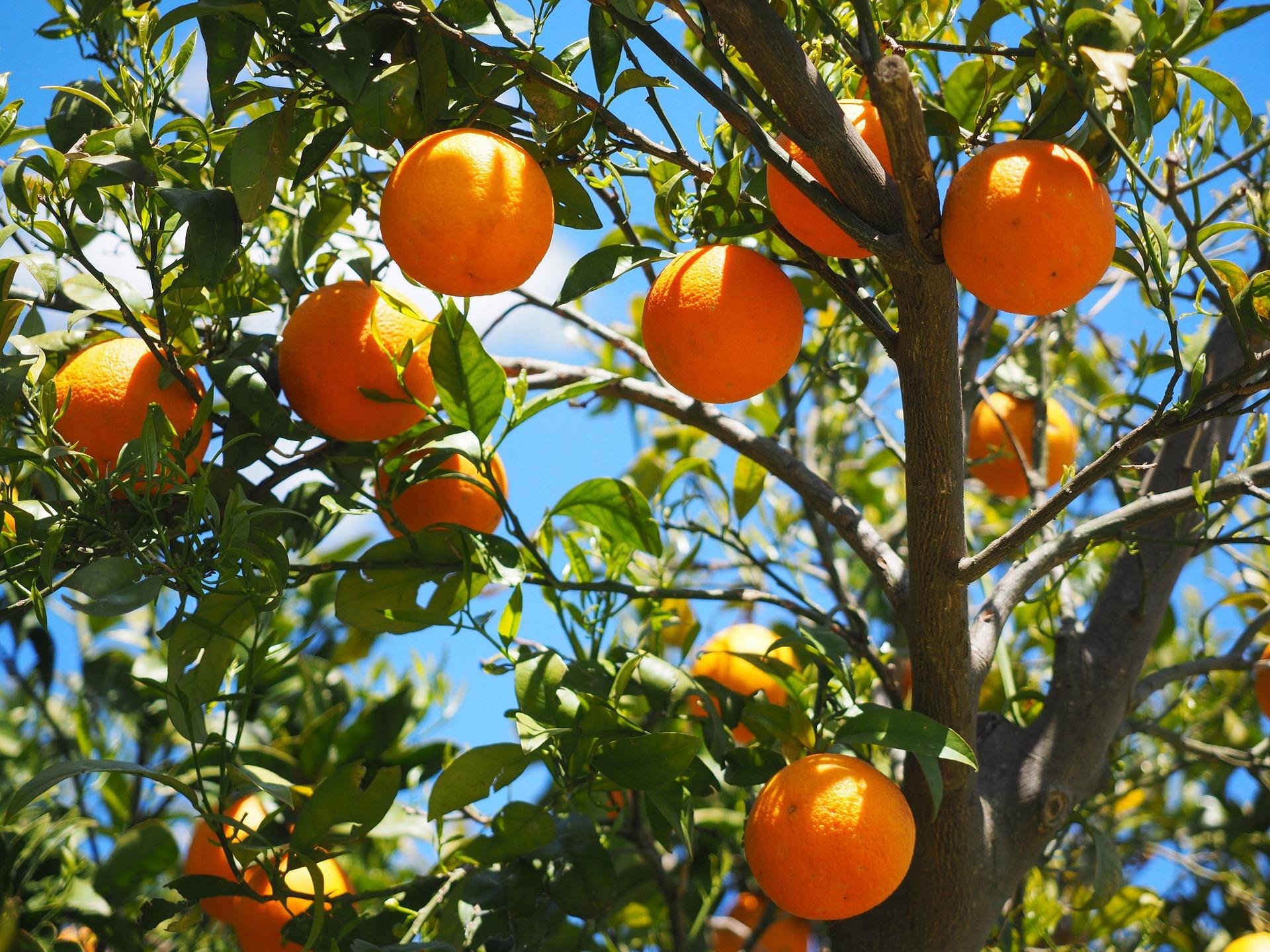 Sinaasappelen